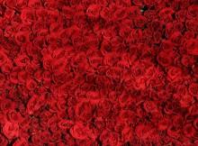 rose-374318_960_720