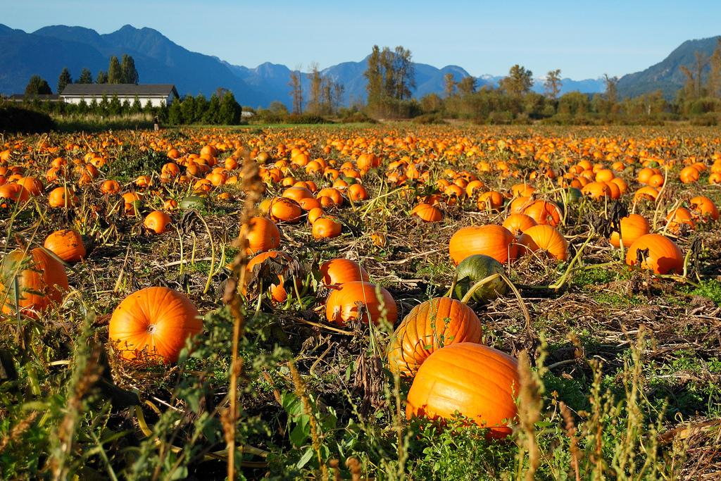 Ardenwood farms pumpkin patch 2014